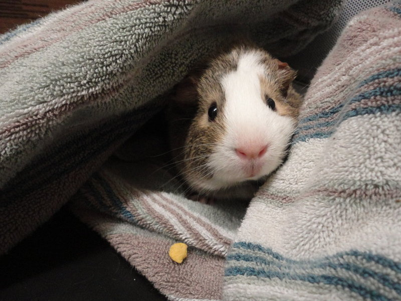 Guinea pig peeking out of a towel. Photo credit @Anuksut on DeviantART.
