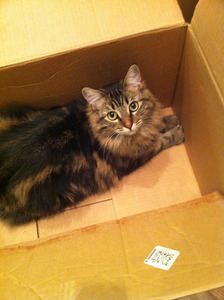 Long-haired cat looking up from inside a cardboard box. Photo credit Rob Marquardt (@sometoast) on Flickr.