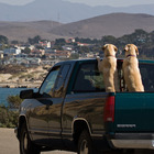 Two labrador retrievers in the bed of a pickup truck. Photo credit @MikeBaird on Flickr.